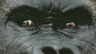 Глаза гориллы крупным планом