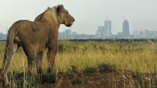 कीनिया में शेरों का डर