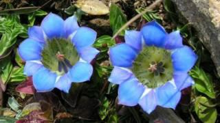 हिलामलयन पौधा जेनटियाना
