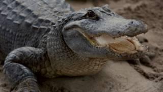 Аллигатор в одном из парков Флориды
