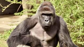El gorila, que fue muerto por los cuidadores, tenía 17 años.
