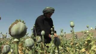 مزارع أفغاني يتفقد محصول نبات الخشخاش