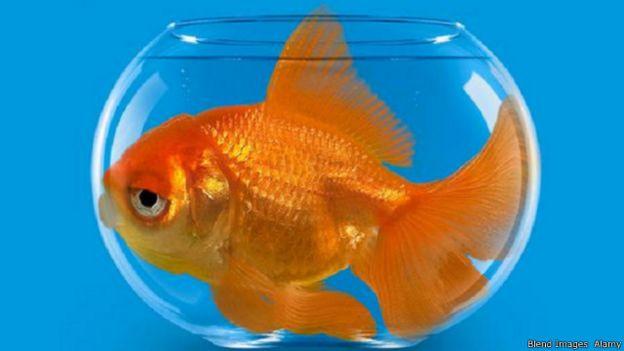 أسرار لا تعرفها عن أسماك الزينة 141030124420_vert_cap_gold_fish_640x360_bbc