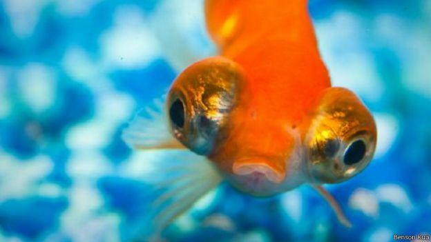 أسرار لا تعرفها عن أسماك الزينة 141030124934_vert_cap_gold_fish_640x360_bensonkua