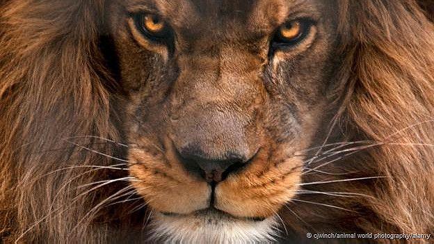 Más allá de Cecil: siete razones para amar a los leones - BBC Mundo