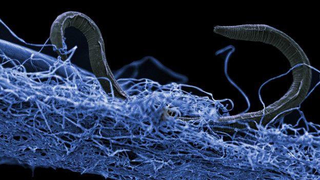 151203170818 criaturas subterraneas 624x351 gaetanborgonienaturecommunications nocredit - Descubrieron gusano terrestre más pequeño del planeta