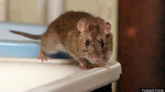 Картинки по запросу Как крыса может попасть в ваш дом через унитаз