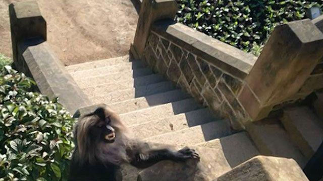 Homem que passeava com cachorro flagrou captura do macaco nos jardins do Castelo de Belfast (BBC)