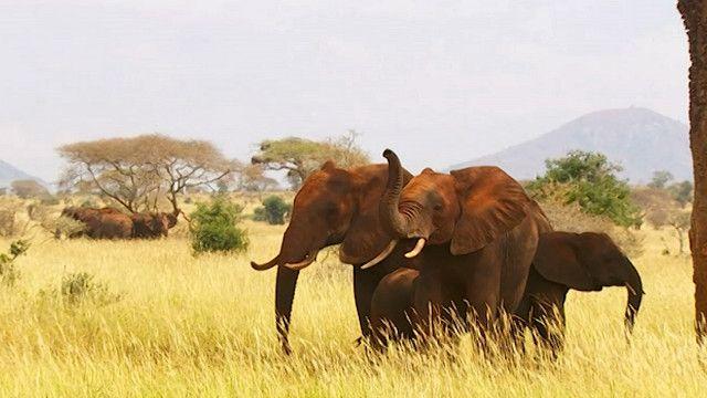 مخاوف من انقراض الفيلة في أفريقيا