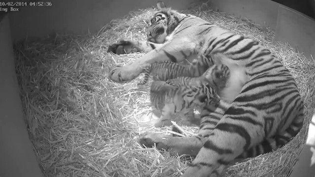 Filhotes de tigre da Sumatra em zoo de Londres (BBC)