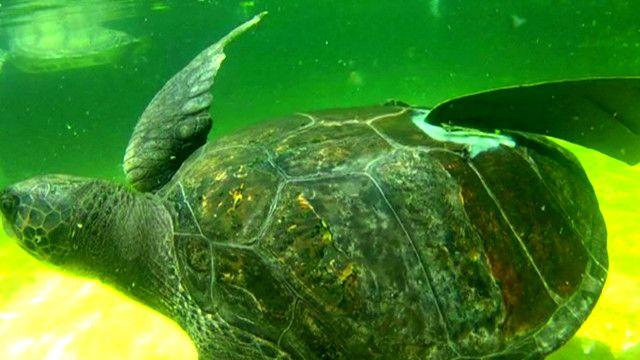 Черепаха с искусственным плавником