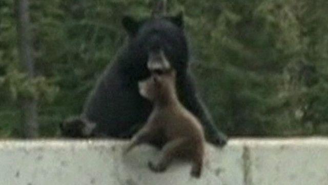Ursa resgate filhote de beira de estrada | Crédito: BBC