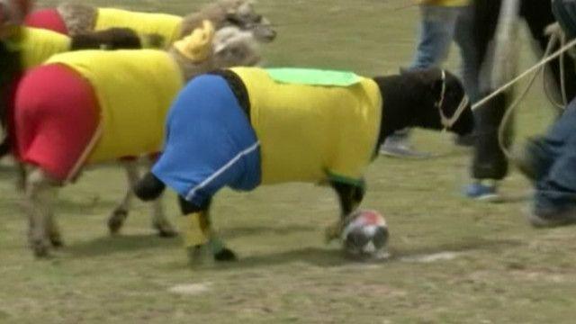 вівці-футболісти