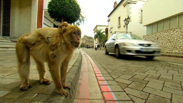 Macacos em Gibraltar | Foto: BBC