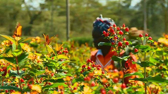 Кенийская цветоводческая ферма