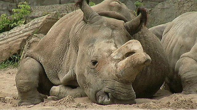 http://a.files.bbci.co.uk/worldservice/live/assets/images/2014/12/15/141215112500_angalifu_rhino_624x351_sandiegozoo.jpg