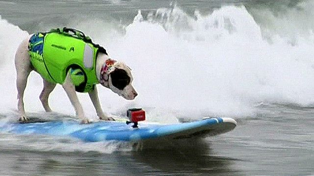 A dog surfing