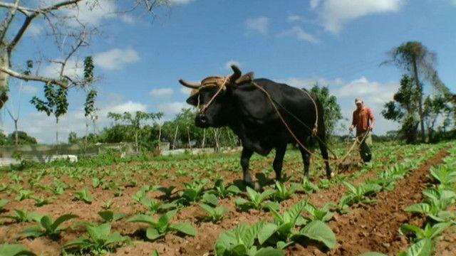 cuban_agriculture