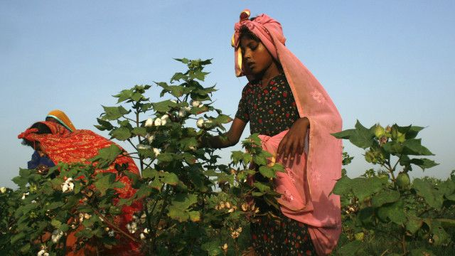 پاکستان کے شہر فیصل آباد میں ایک لڑکی کپاس کی فصلوں میں کام کر رہی ہے