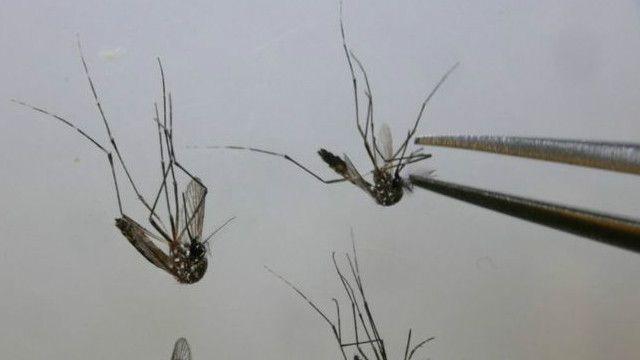 Mosquitos trasmisores de zika
