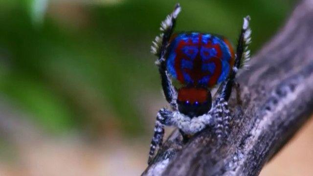 Araña pavo real de Australia