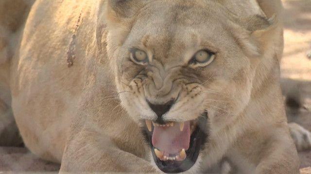 полювання на левів