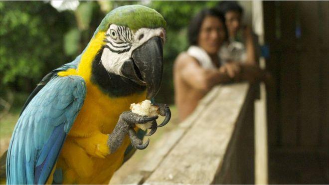 Un papagayo azul y oro con un trozo de pan.