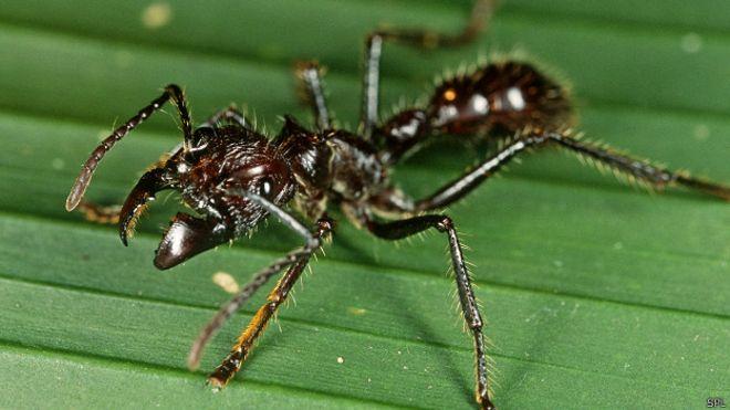 El dolor de la picadura de esta hormiga bala puede doler incluso más que recibir un disparo de arma de fuego