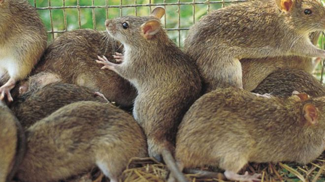 Resultado de imagem para ratos