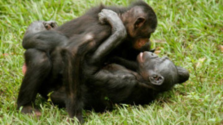 Гомосексуализм у шимпанзе видео